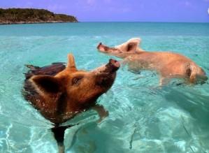 swimming_pigs_01-620x